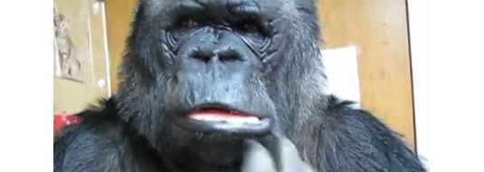 Gorilla Koko Watches A Movie